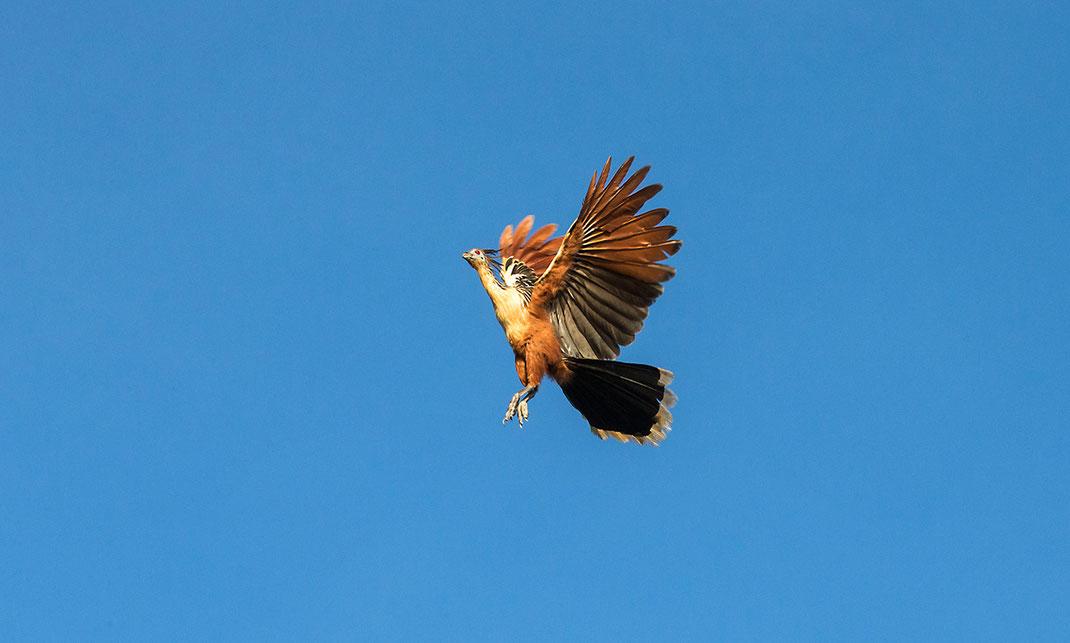 Hoatzin Bird, Amazon Chicken flying, Amazon, Brazil  1280x769px