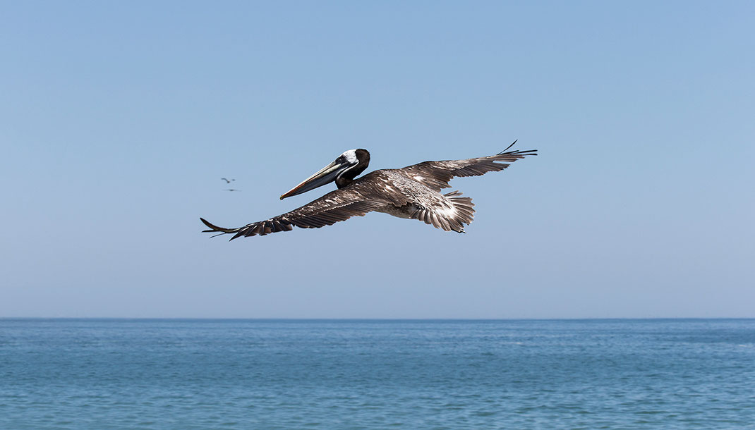 Brown Pelican flying at the Pacific Ocean, Chile, South America,1280x730px