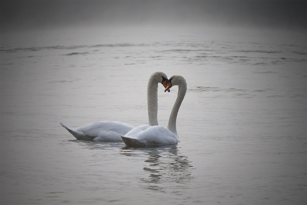 Swan Couple Wildlife at the Kuehkopf Nature Reserve, Rhine River, Hessen, Germany, 1280x853px