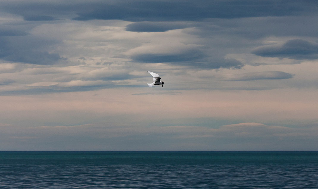 Tern with black and white feathers flying, hunting, South Pacific Ocean, New Zealand, 1280x763px