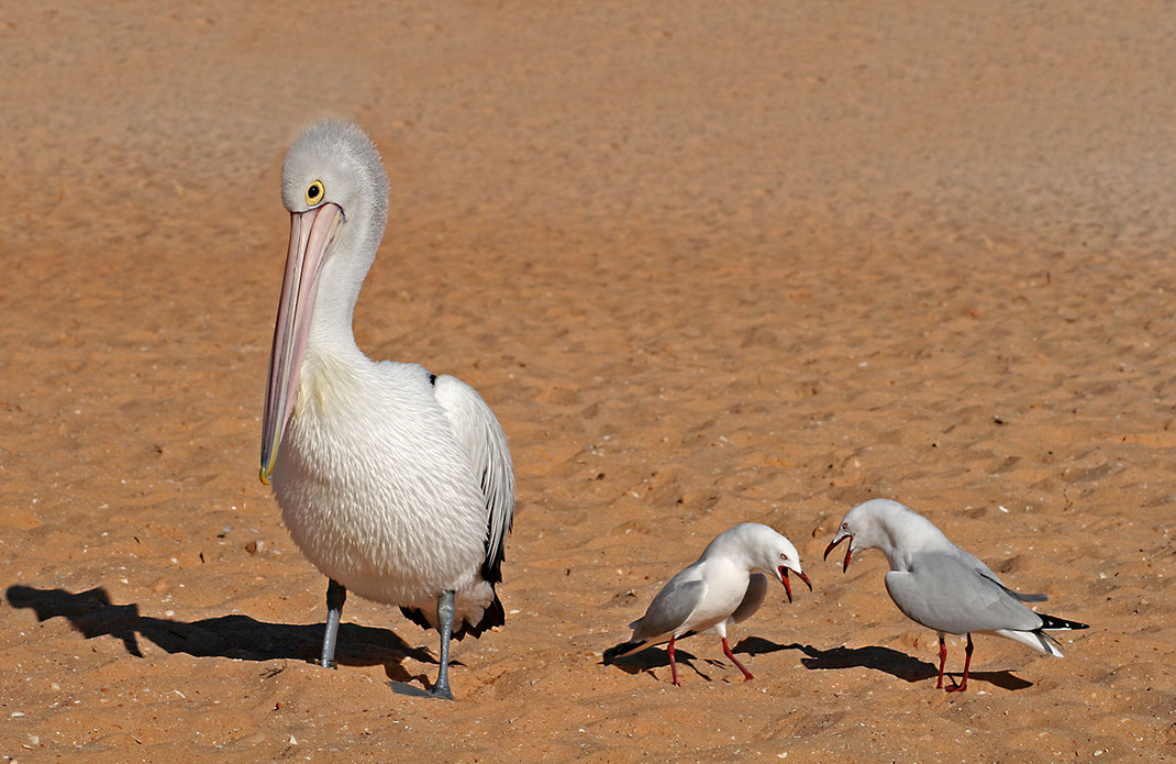 Funny scene with pelican and two seagulls at Coral Bay Beach with Seagulls complaining, Western Australia, 1280x831px