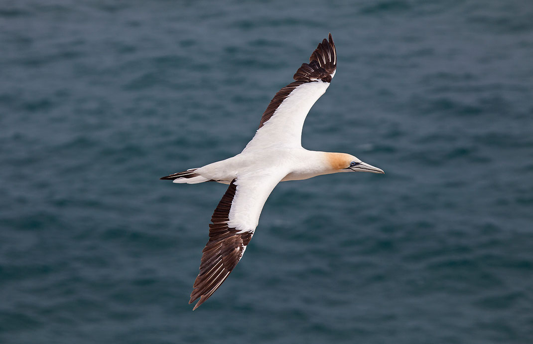 White Gannet flying at the Pacific Ocean, Muriwai Beach, Northern Island, New Zealand, 1280x826px