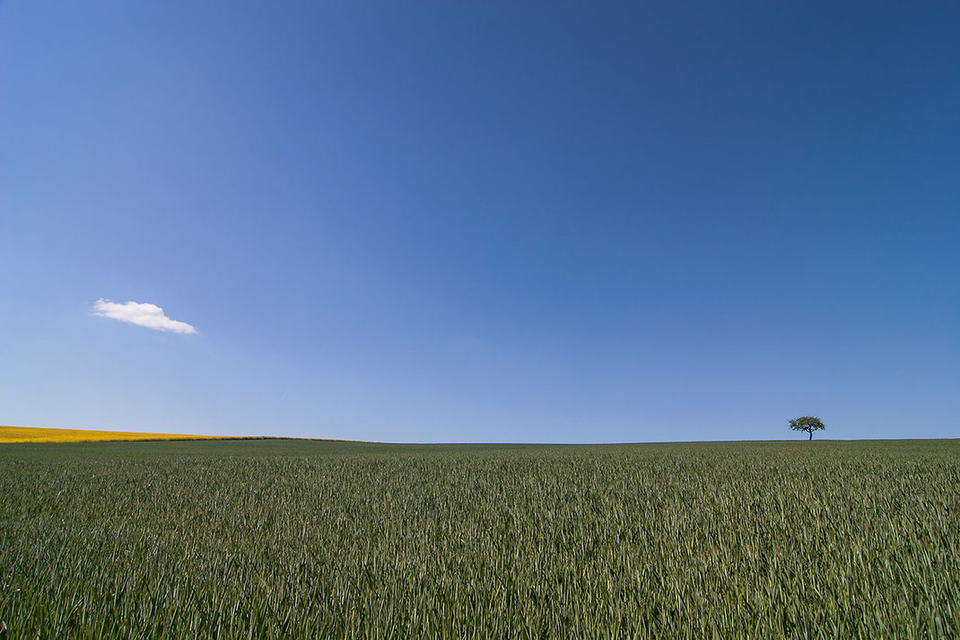 Solitaire tree and solitaire cloud on a wheat field with blue skies in the Limburger Land, Hessen, Germany, Europe