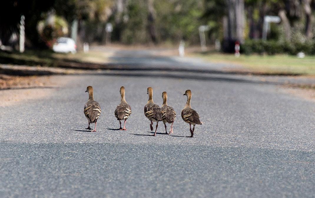 Group of Ducks walking along a road in Brisbane, Australia, 1280x807px