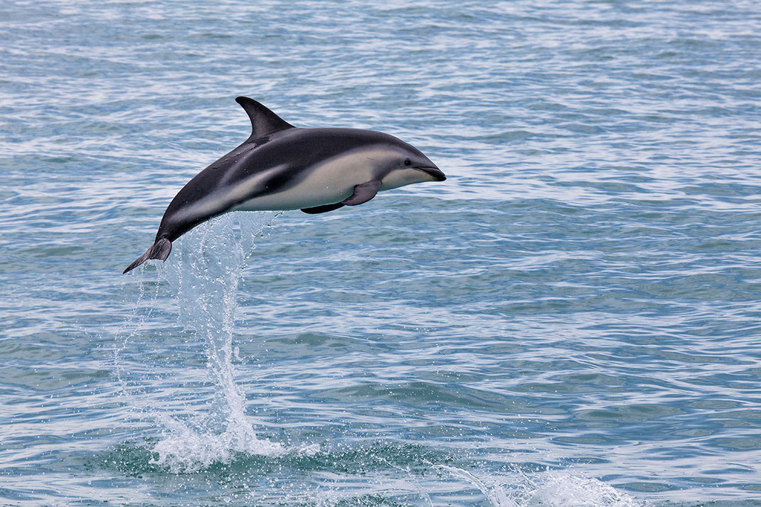 Bottlenose Dolphin jumping, Pacific Ocean at Kaikoura, Wildlife Picture, Southern Island, New Zealand,  1280x853px