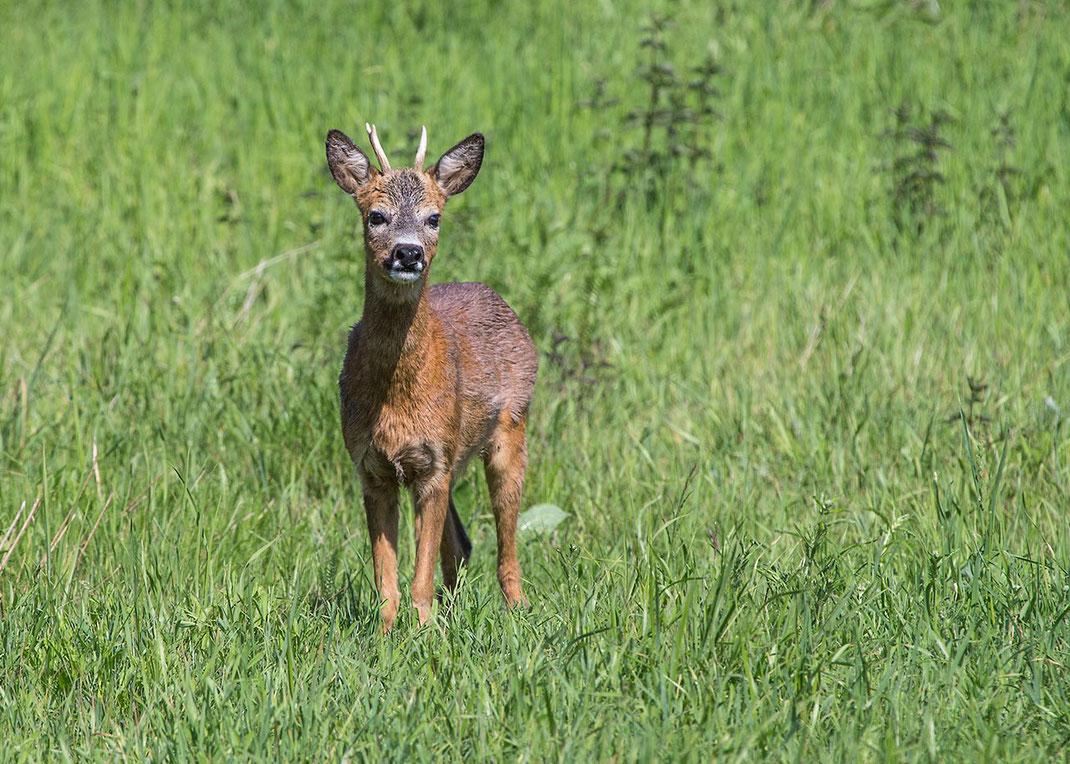 Western Roe Deer Teenager, wildlife at the Kuehkopf Nature Reserve, Rhine River, Hessen, Germany, 1280x914px