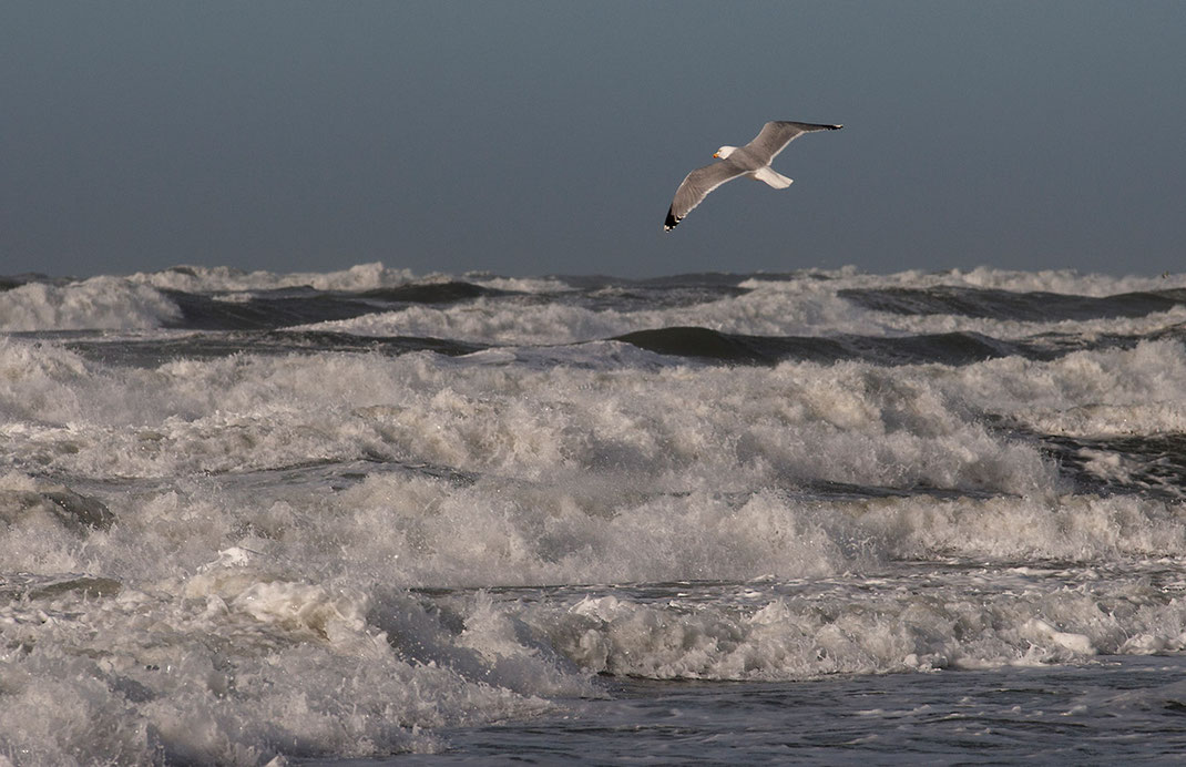 Seagull in front of stormy rough waves during a storm in sunshine, Texel Island, Holland, Netherlands, 1280x828px