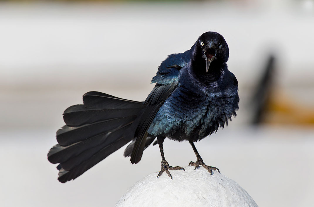 Beautiful black grand tailed Grackle bird looking angry, grumpy, Mexico, 1280x847px
