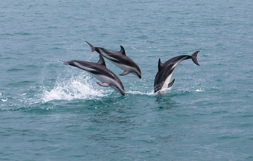 Bottlenose dolphins jumping, wildlife, Kaikoura, Southern Island, South Pacific Ocean, New Zealand, 1280x817px