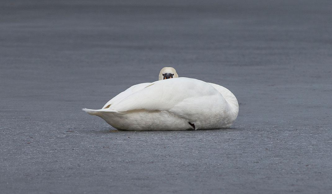 Swan resting on frozen lake, Moenchbruch Nature Reserve, Frankfurt, Hessen, Germany, 1280x750px
