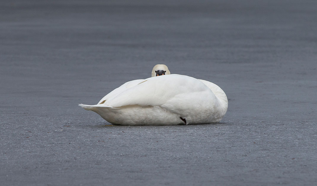 Swan resting on frozen lake, Moenchbruch Nature Reserve, Frankfurt, Hessen, Germany, 1280x750px