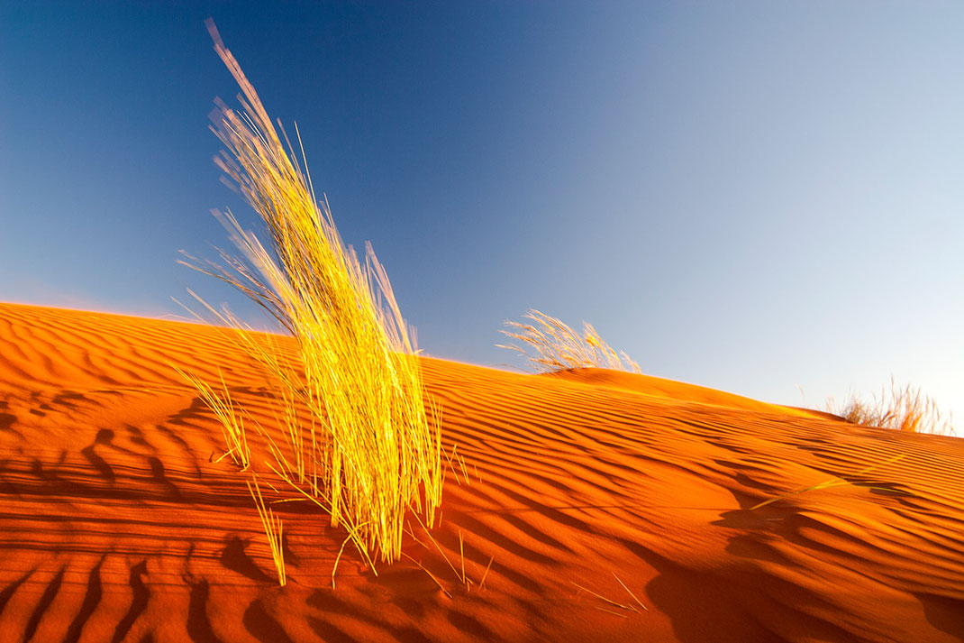 Beautiful red dunes and yellow desert grass at warm afternoon light, sundowner in the Namibia Desert, Namib Naukluft Park, Namibia, 1280x853px