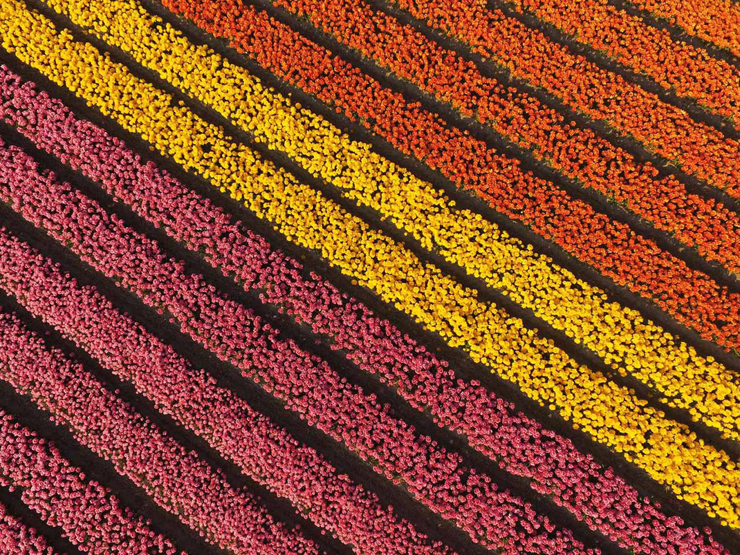 Holland Keukenhof Tulip field, Flowers, Dji Phantom, Drone, Netherlands, 1280x960px