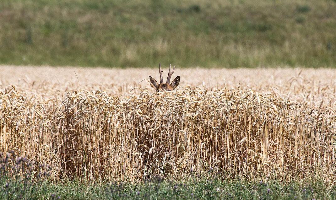 Western Roe Deer hiding, wildlife at the Kuehkopf Nature Reserve, Rhine River, Hessen, Germany, 1280x762px