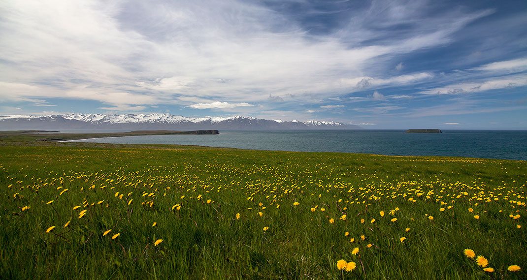 Yellow flowers in front of the Atlantic Ocean with snowy mountains in the back, springtime in Husavik, North Coast, Iceland
