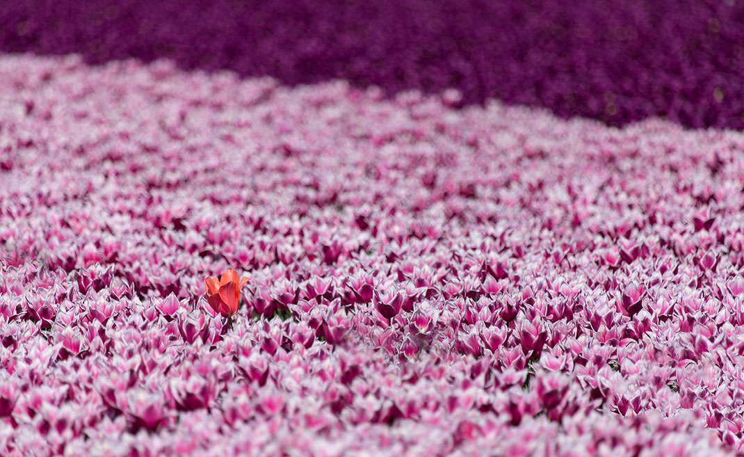 Solitaire red colored Tulip in rose tulip field, Keukenhof Park, Holland, Netherlands, 1280x786px