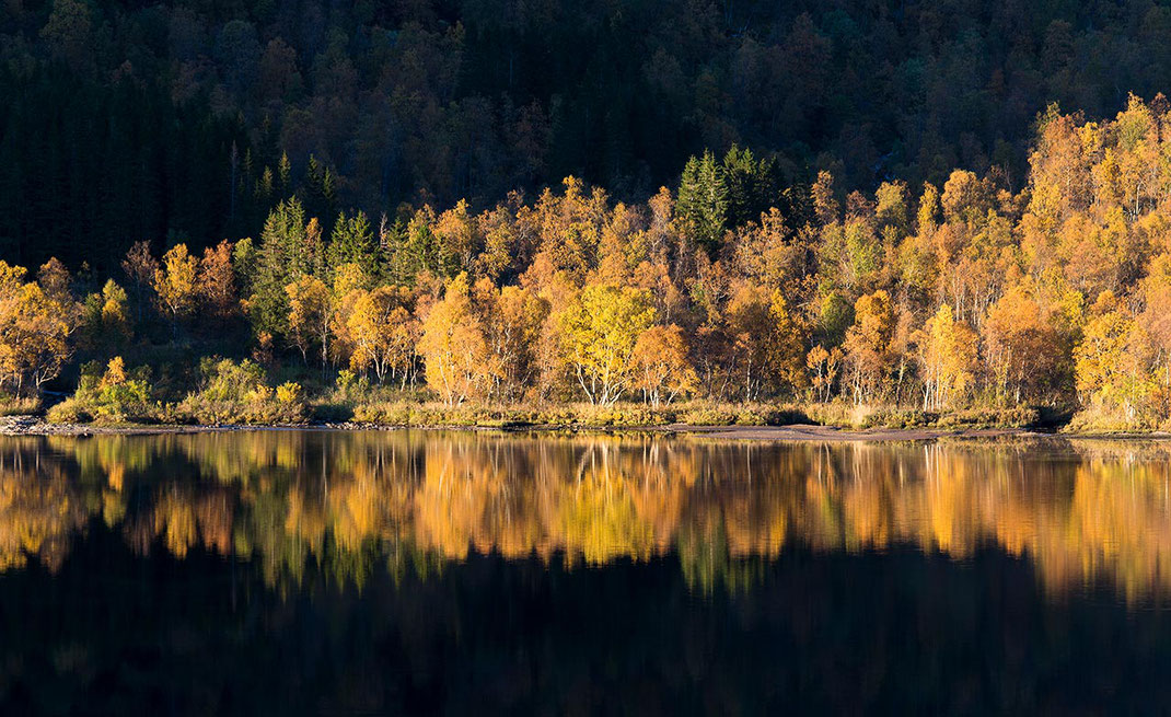 Beautiful autumn yellow and orange colors in trees reflected in the water of a fjord, Lofoten Islands, Norway, 1280x783px