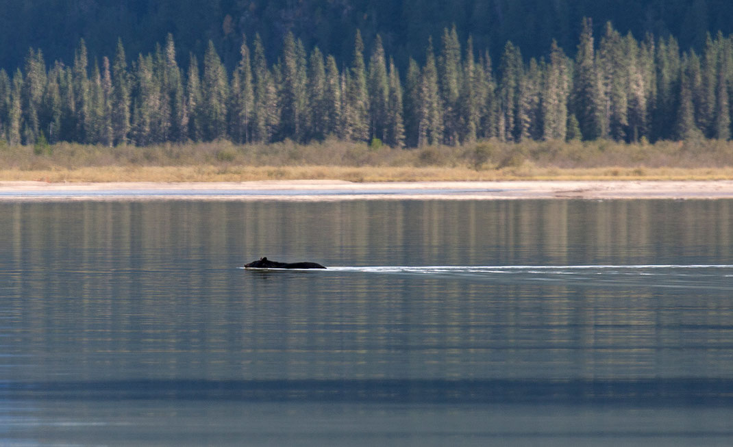 Swimming Black Bear in a lake with needle trees, wildlife, British Columbia, Canada, 1280x781px