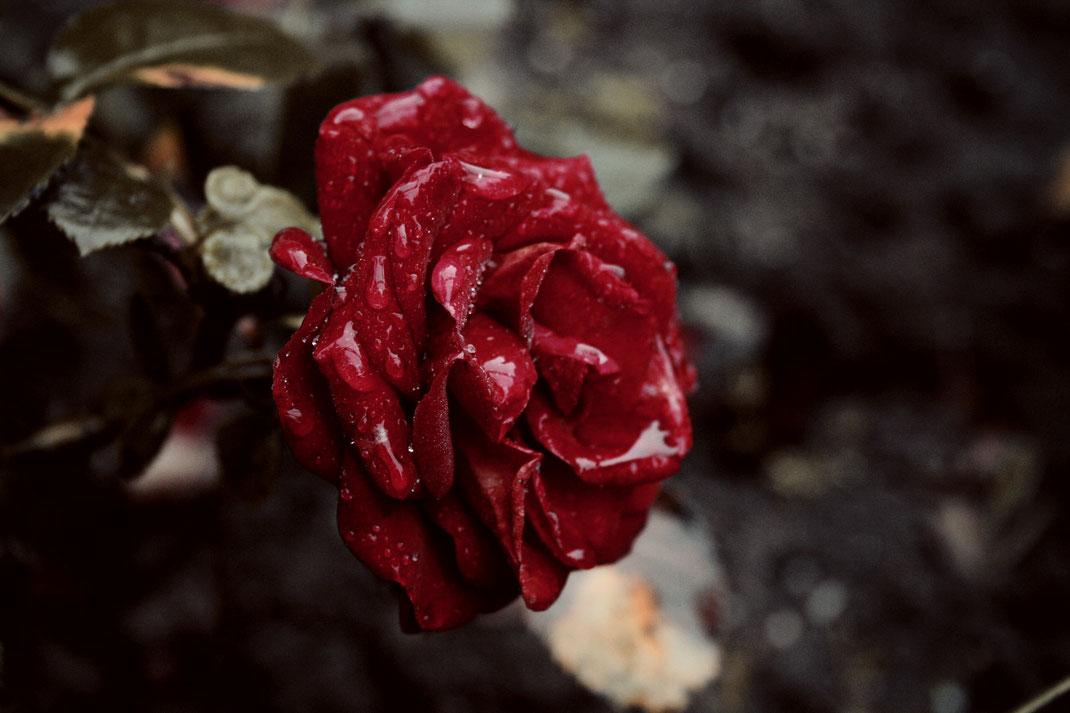 personalblog fotografie rose regen wassertropfen