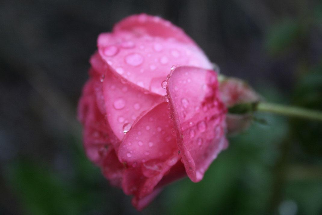 personalblog fotografie carmen schubert rose pink wassertropfen