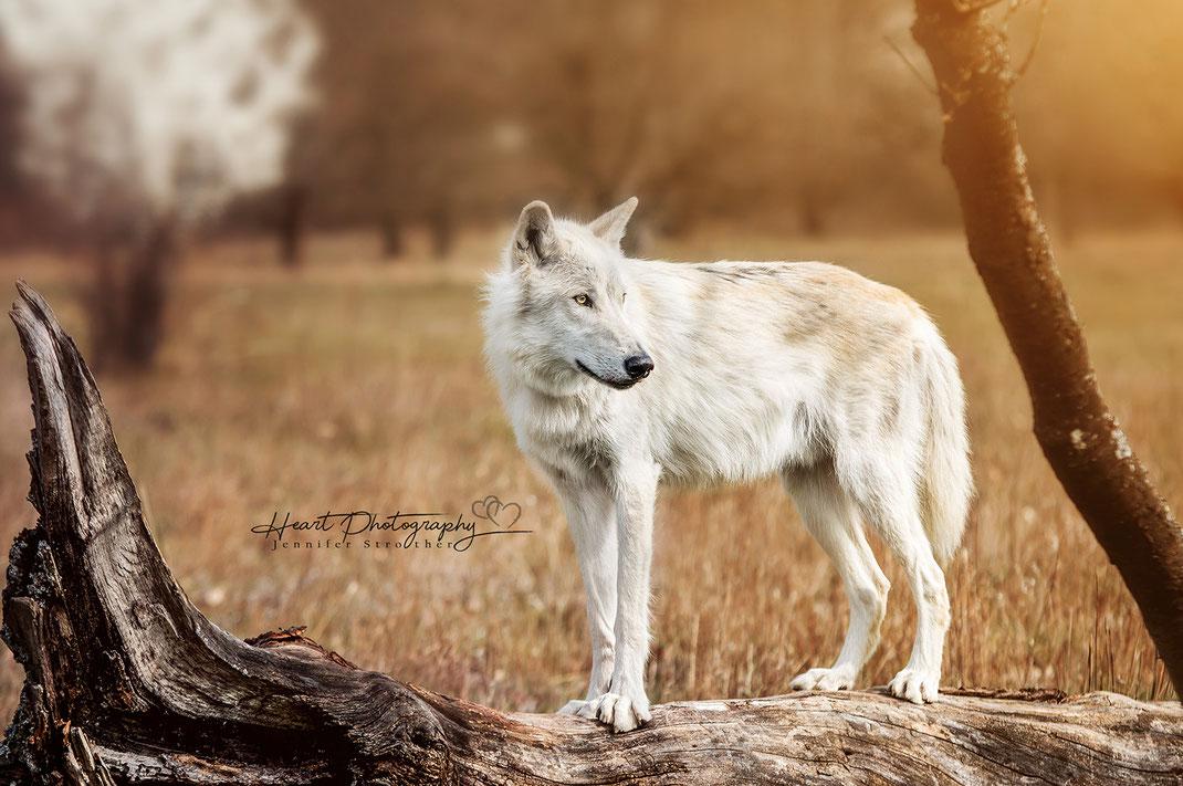 Amerikanischer Wolfshund, Fotoshooting mit Wolfshund, Natur, Co.Model