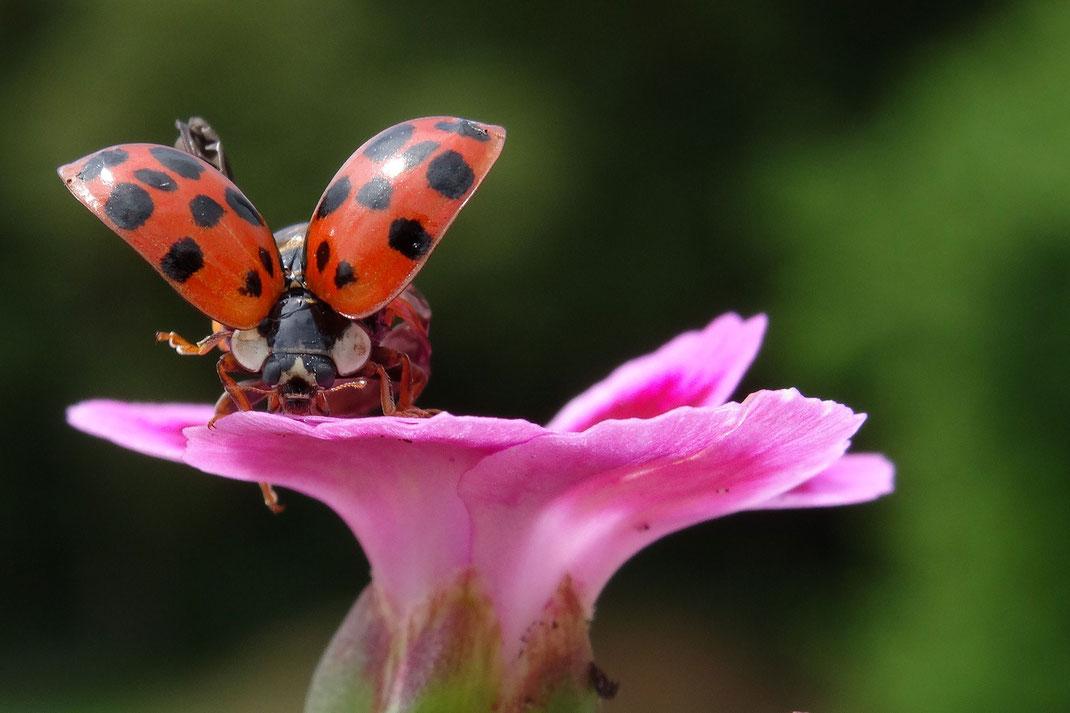 Marienkäfer sitzt auf einer rosa Blüte und hat die Flügel ausgebreitet