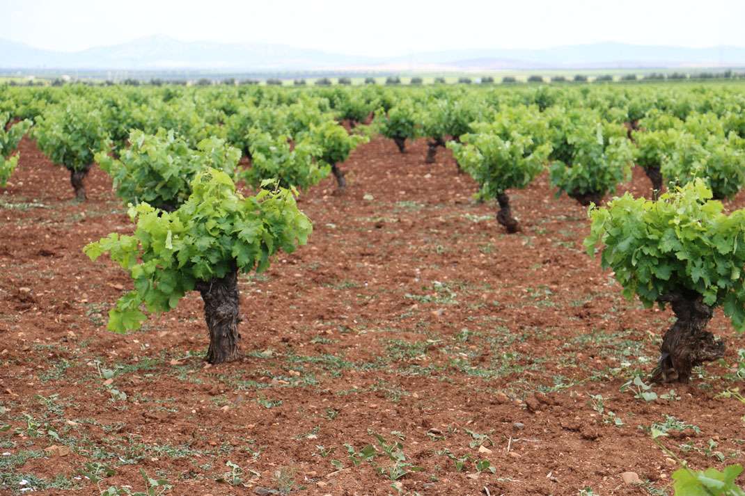 Weinberge Tierra de Barros Viñas VIllafranca de los Barros