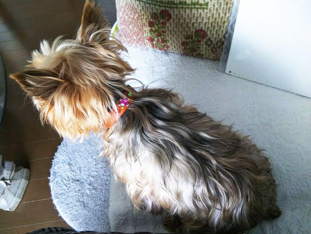 ヒーリングリラクゼーションKisuiの看板犬ナッツ