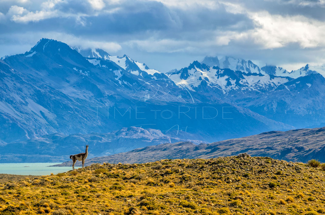 Nature´s Stage | Bühne der Natur | Patagonia | Argentina | Vicuna enjoying the incredible view towards the massive Mountains around Mt. Fitz Roy | Landschafts- & Naturfotografie | Landscape & Nature Photography