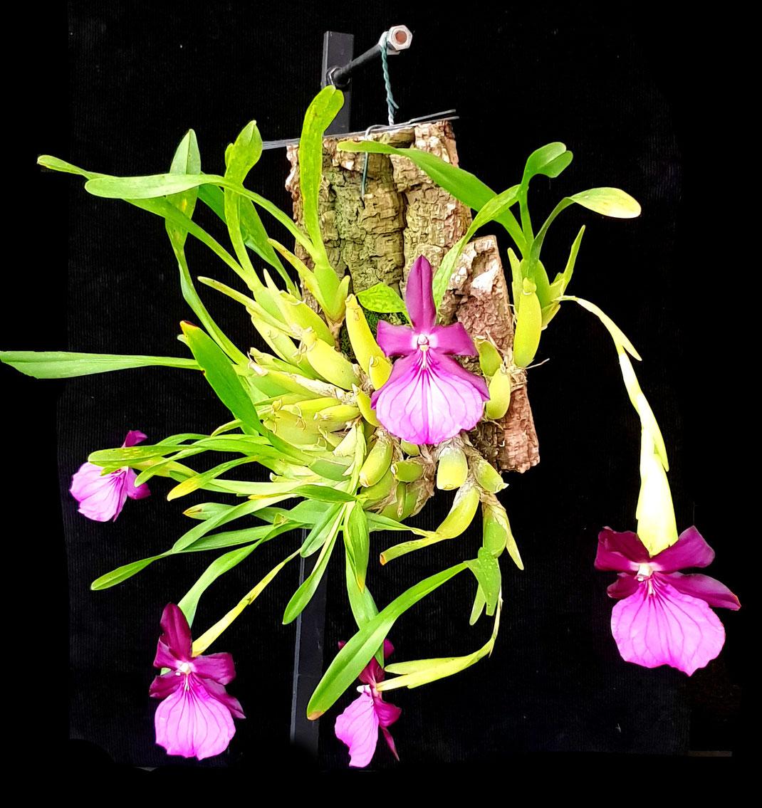 Table Show Winner Miltonia moreliana by Neville Dunn