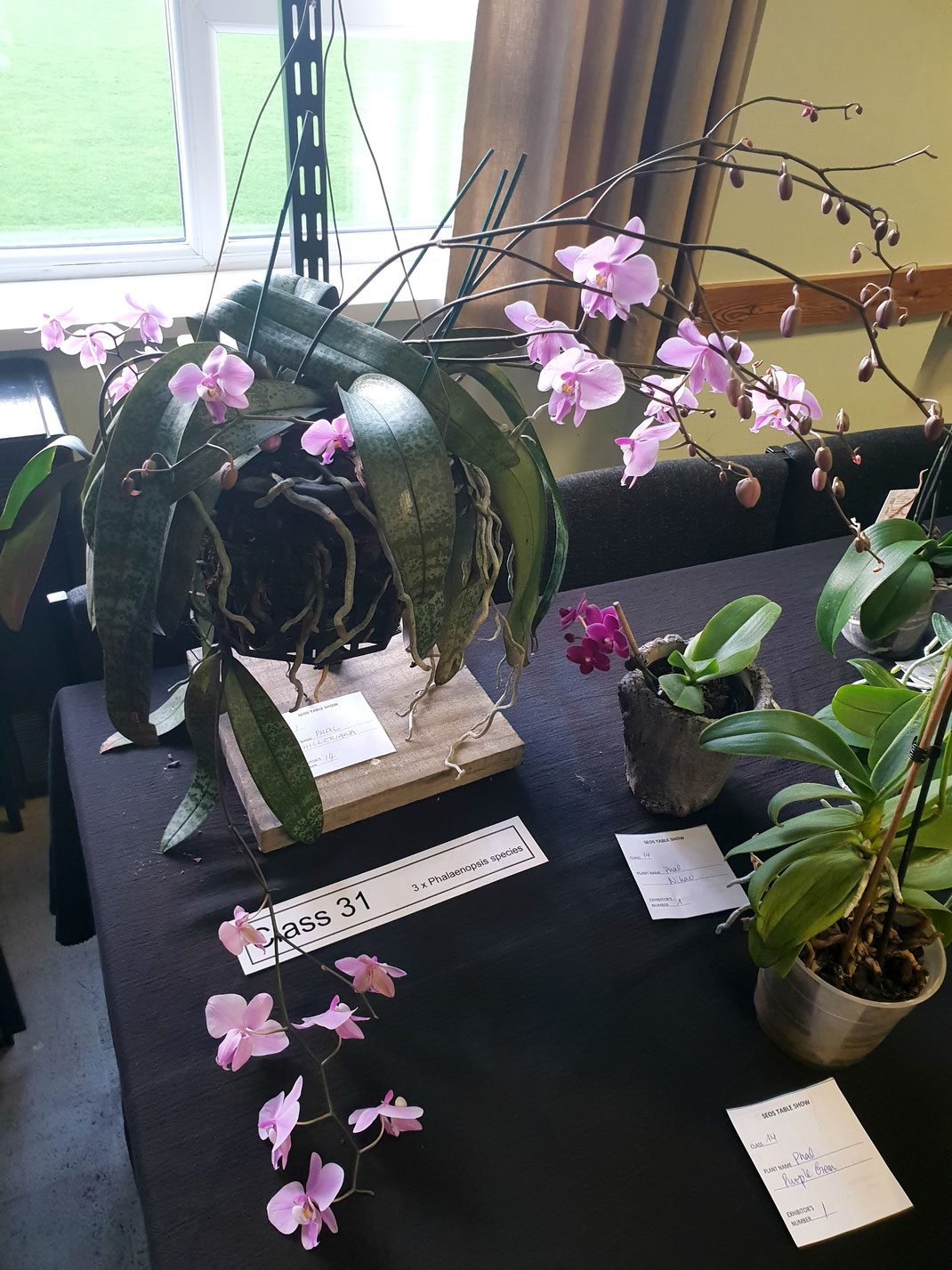 Phalaenopsis schilleriana by Bob Heddle is Table show winner for December 2018