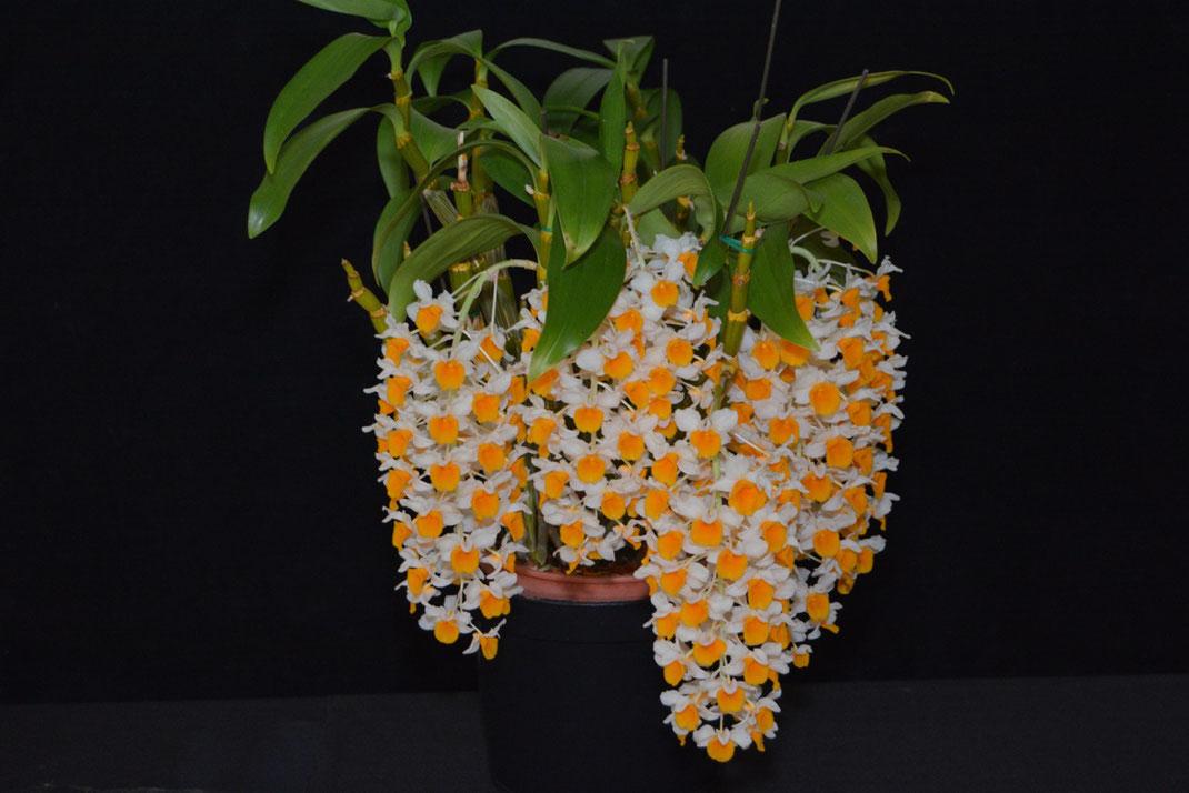 Dendrobium thrysiflorum