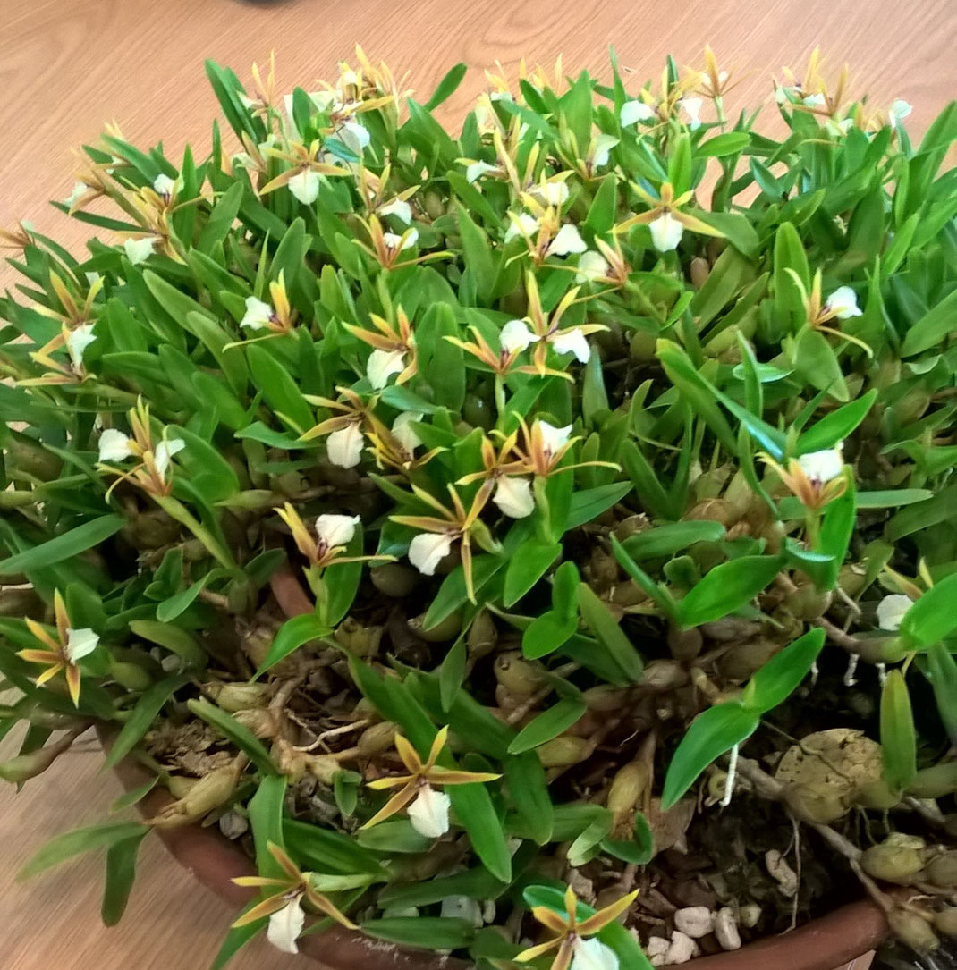 Dinema polybulbon by Sally Mill February Meeting 2019 at South East Orchid Society