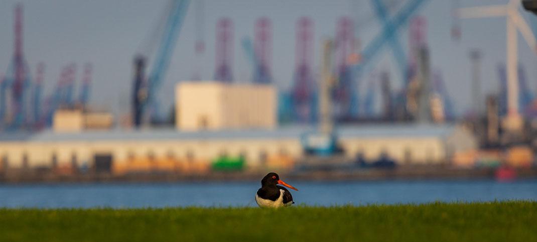 Hamburg Hafen Austernfischer Hafencity
