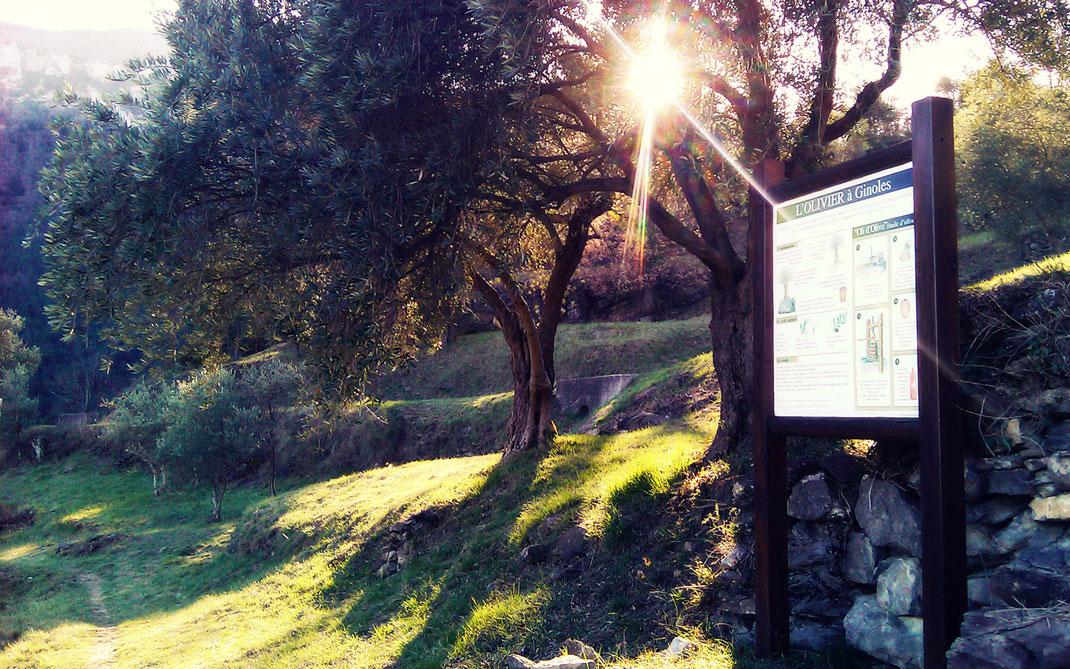 Oliveraie de Ginoles - Sentier de Capio