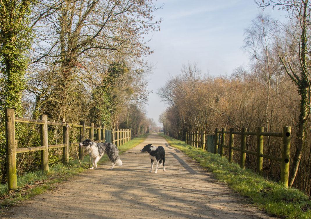 Zwei Collies auf der Voie Verte in der Normandie, Radwege auf ehemaligen Bahnstrecken.