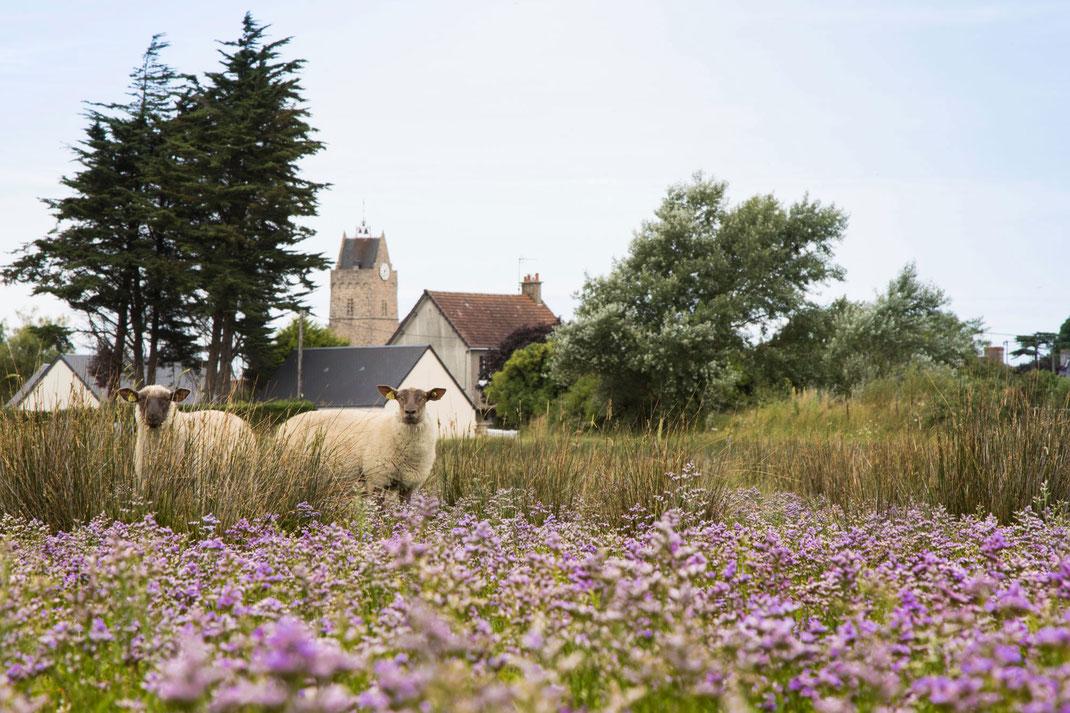 Schafe im Havre von Saint-Germain-sur-Ay, Urlaub mit Hund in der Normandie