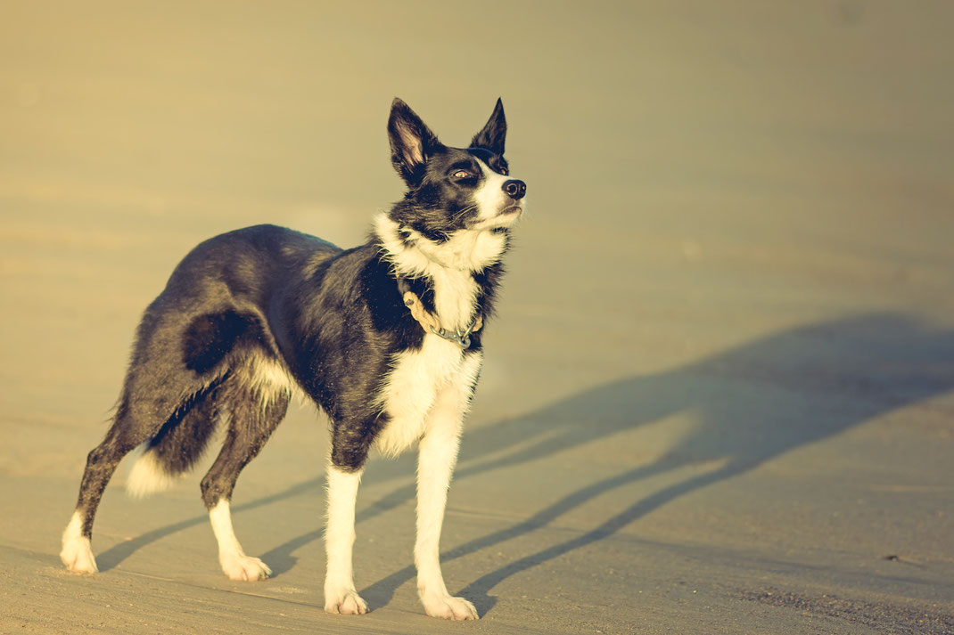 Ein Border Collie steht am Strand von Saint-Germain-sur Ay in der Normandie.