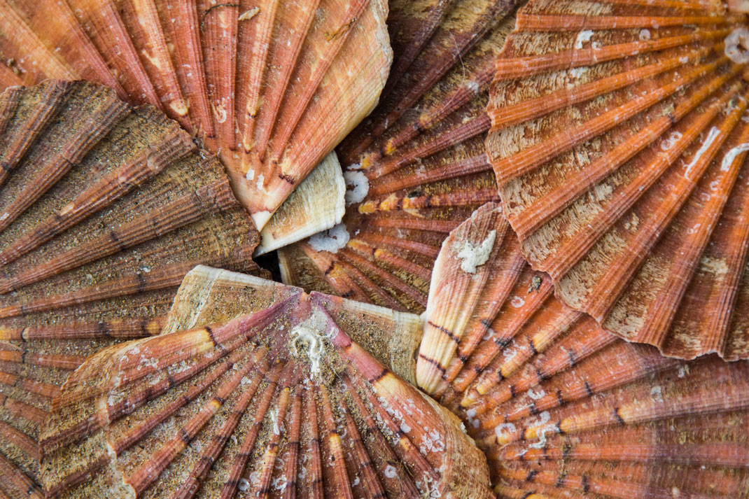 Schalen von Jakobsmuscheln in der Normandie