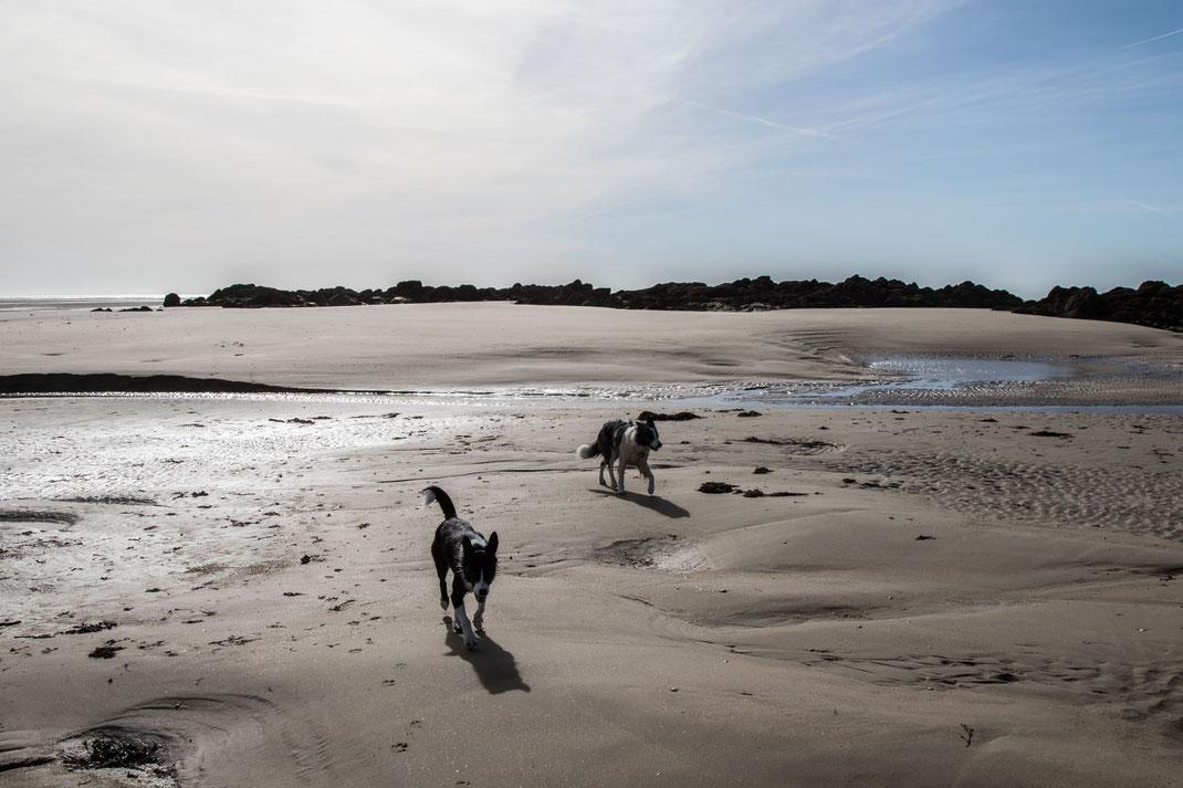 Zwei Border Collies am Strand von Saint-Germain-sur-Ay