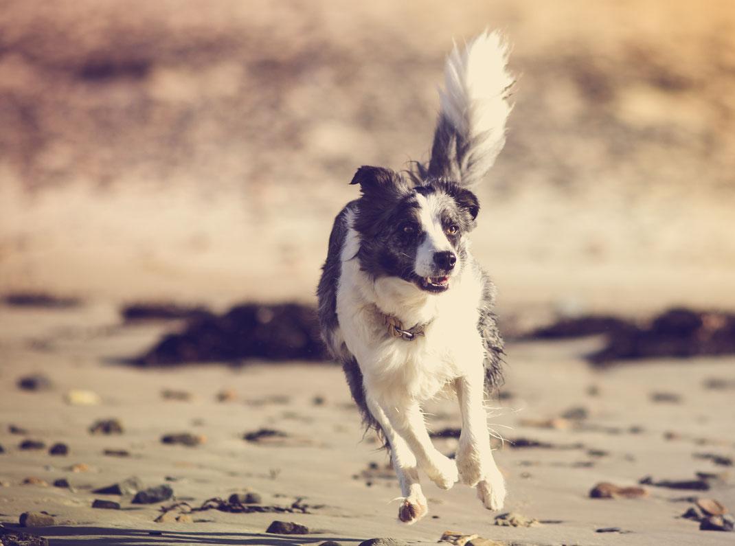 Ein Border Collie rennt über den Strand von Bretteville sur Ay in der Basse-Normandie.