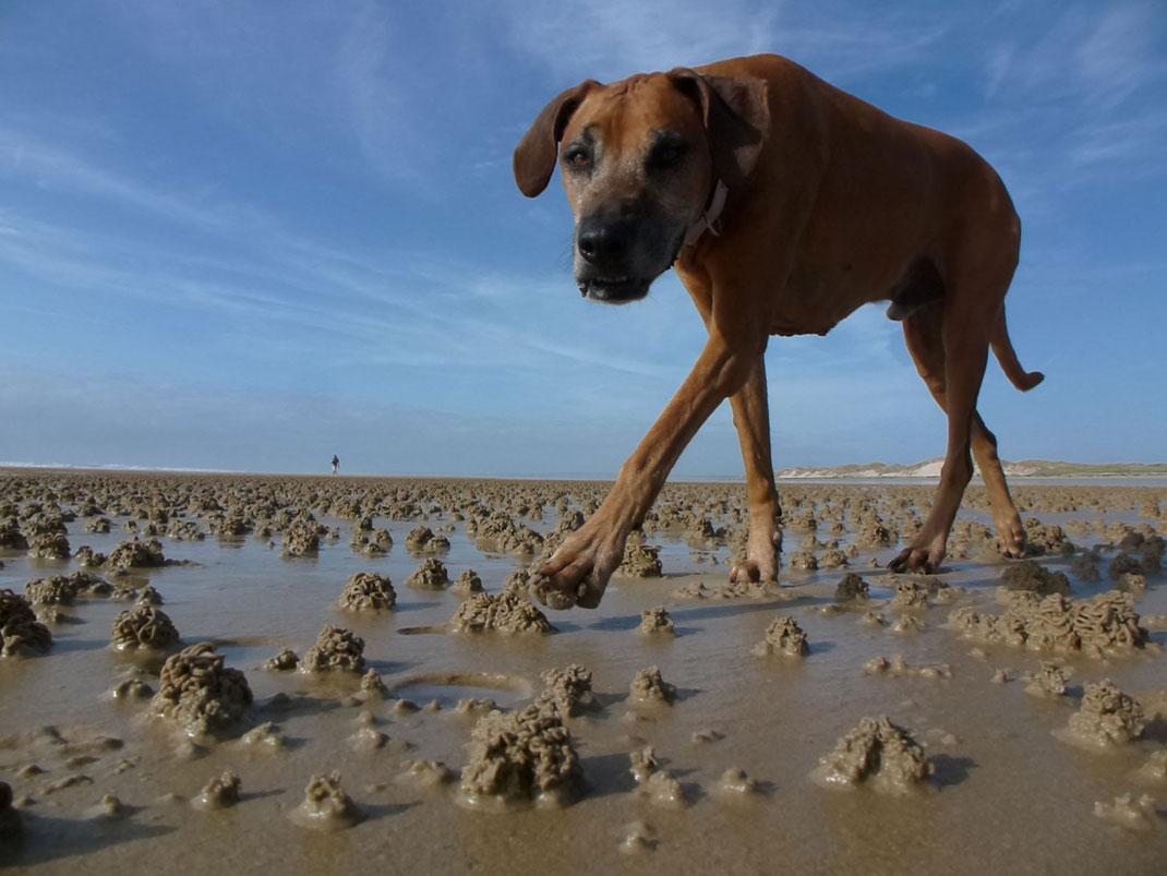 Ein Rhodesian Ridgeback am Strand von Hatainville in der Normandie.