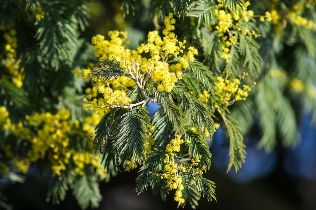 Eine Mimose in der Normandie blüht kräftig gelb.