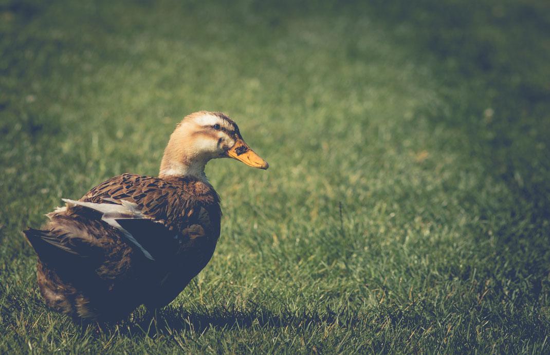 Eine Ente im Hof des Eco-Gîte de Lénault in der Normandie.