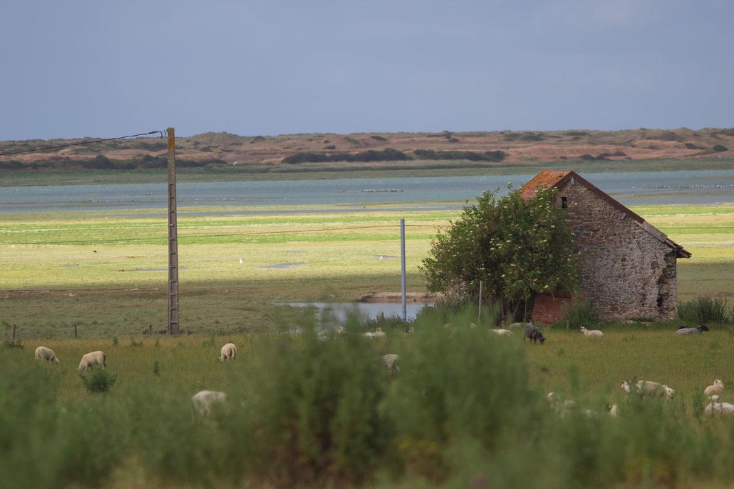 Schafe vor dem Havre in Saint Germain sur Ay in der Normandie