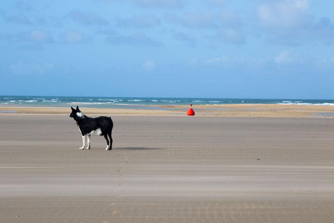 Ein Border Collie steht am Strand von Portbail in der Normandie