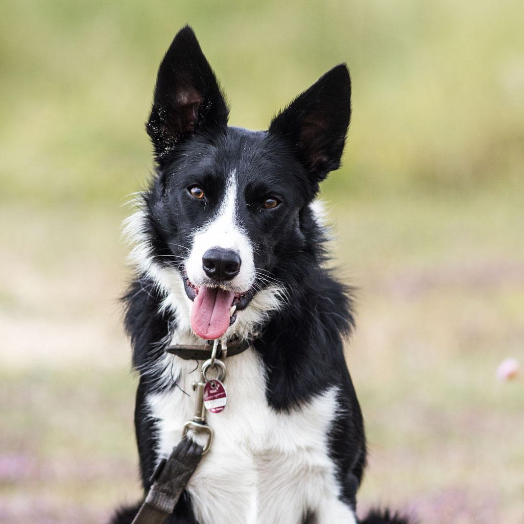 Urlaub mit Hund Normandie: Ein Border Collie in den Dünen der Normandie blickt in dioe Kamera