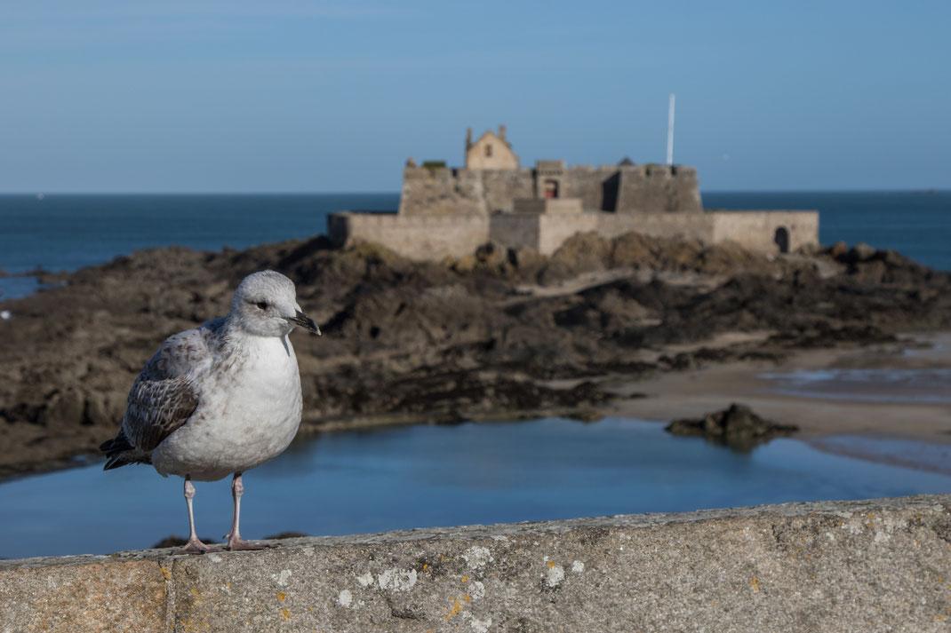 Eine Möwe sitzt auf der Befestigungsmauer in Saint Malo in der Bretagne.