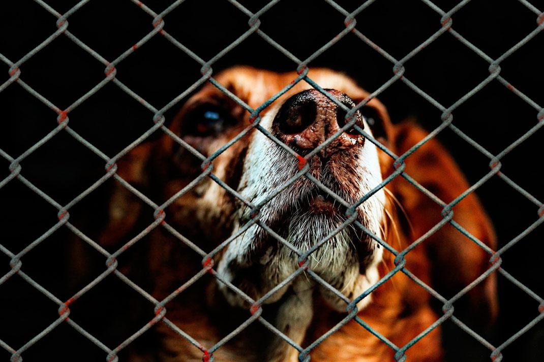 Ein Hund hinter dem Maschendrahtzaun eines Tierheims drückt sich die Nase platt