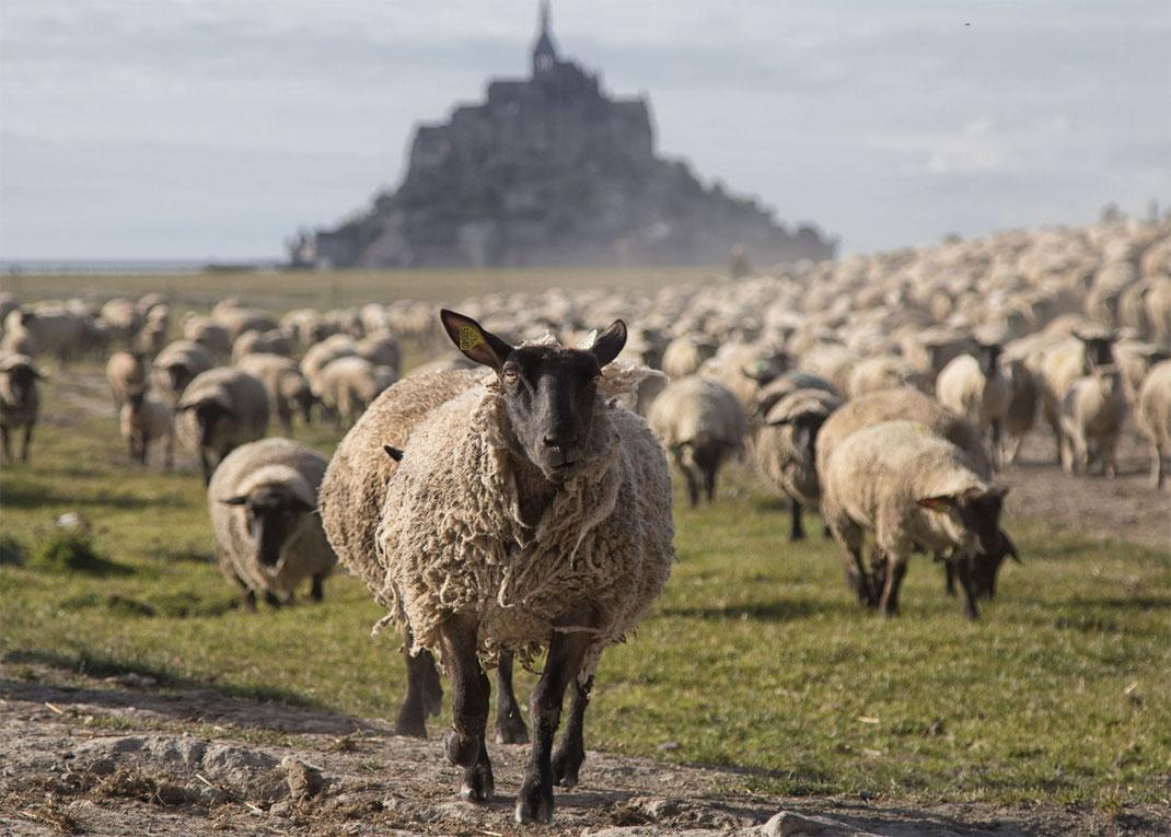 Eine Schafherde vor dem berühmten Klosterberg Mont-Saint-Michel in der Normandie.
